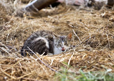 Cat in the straw Royalty Free Stock Photo