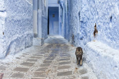 Cat on Street in medina. Of blue town Chefchaouen, Morocco royalty free stock image
