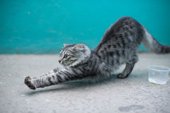 Cat stretch Stock Image