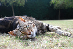 Cat Stretching. On the grass in the summer Royalty Free Stock Image