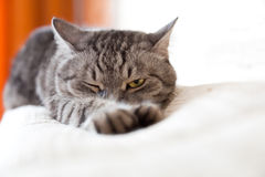 A cat is stretching. A striped cat is stretching Stock Image