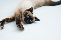 Cat stretching. Cat with blue eyes stretching Royalty Free Stock Photography
