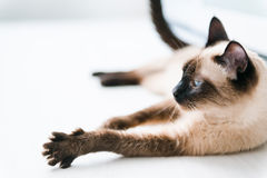 Cat stretching. Cat with blue eyes stretching Royalty Free Stock Images