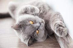 Cat stretching its foreleg Royalty Free Stock Image
