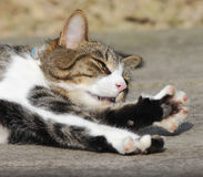 Cat stretching paw Stock Image
