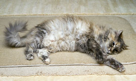 Cat Stretching On Rug royalty free stock images