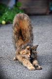 Cat stretching Royalty Free Stock Image