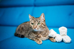 Cat, striped, blue sofa, baby booties stock photography