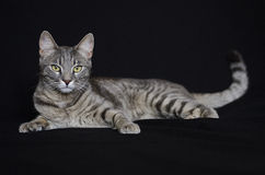 Cat. Striped cat lieing in the black background stock image