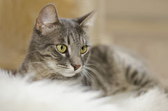 Cat. Striped cat lieing on the fur Stock Photo