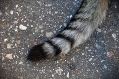Cat striped tail Royalty Free Stock Photo