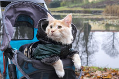 Cat in stroller on trip dressed in jacket Stock Images