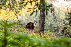 A cat strolling through San Gimignano. Tuscany, Italy Royalty Free Stock Photography
