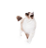 Cat Strut. Proud Ragdoll cat walking forward while looking to the side on a white background. Copy space for your text stock images