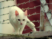 Cat Stuck in Barbed Wire. White cat standing on a ledge with its hind legs stuck through a barbed wire fence Royalty Free Stock Photos