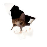 Cat stuck in a two-foot hole in the paper. Focus on foot, and th Royalty Free Stock Photography