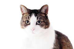 Cat in studio Stock Photography