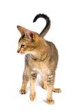 Cat in studio Stock Image