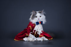 Cat in a suit of the Duke Stock Images