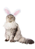 Cat in a suit of a rabbit. Isolated on white background Stock Image