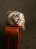 Cat on a suitcase Stock Images