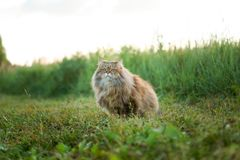 Cat in summer on green grass. Fluffy cat in summer on green grass in the field stock photography