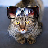 Cat in sun glasses Royalty Free Stock Photos