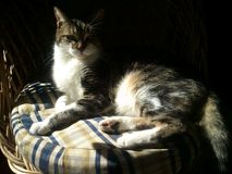 Cat on the sun in a wicker chair. A beatifull Cat lying on the sun in a wicker chair looking at the camera Royalty Free Stock Images