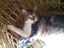 Cat on the sun in a wicker chair. A beatifull Cat lying on the sun in a wicker chair looking at the camera Royalty Free Stock Image