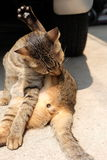 Cat sunbathe cleaning lick Stock Photo