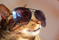 Cat in sunglasses Stock Photography