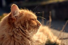 Cat in the sunset. Portrait beautiful cat on the garden Stock Images