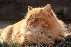 Cat in the sunset. Portrait beautiful cat on the garden Royalty Free Stock Images