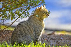 Cat in Sunshine Portrait. Profile of a beautiful gray tabby cat sitting outdoors in the sunshine looking off into the distance royalty free stock photos