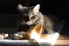 Cat in Sunshine Royalty Free Stock Image