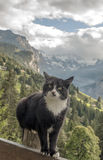 Cat in swiss alp. In the background are mountains with snow in, in a valley on a cloudy day. It´s a vertical picture royalty free stock image
