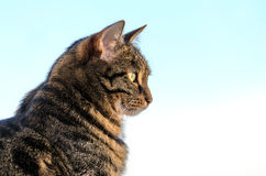 Cat tabby in color against the sky.  Royalty Free Stock Image