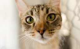 Cat Tabby Eyes. Is a Tabby cat looking right at you with it`s great big green eyes Stock Images