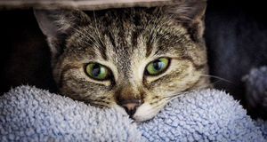 Cat. Tabby cat face looking at you with beautiful green  and yellow eyes Royalty Free Stock Images