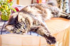 Cat Tabby Maine Coon på tabellen arkivfoto