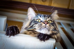 Cat Tabby Maine Coon on the Stairs. Brown Sad Cat Tabby Maine Coon on the Stairs, Selective Focus, Cat Portrait at Home Stock Photography