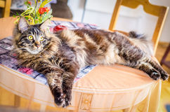 Cat Tabby Maine Coon on the Table. Brown Sad Cat Tabby Maine Coon on the Table, Selective Focus, Cat Portrait at Home, Sunny Day Stock Images