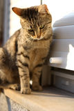 Cat. Tabby cat standing on the window, looking down. Selective focus, on the head royalty free stock photography