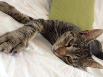 Cat. Tabby sweet cat royalty free stock photo