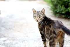 Cat. Tabby cat walking in the garden. Selective focus, copy space royalty free stock image