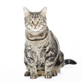 Cat. Tabby cat  on white background Royalty Free Stock Photo