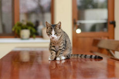 Cat on Table. Cat sitting on wooden table in yard royalty free stock photo
