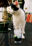 Cat on table. Portrait of black and white cat on table with drink in foreground Royalty Free Stock Image