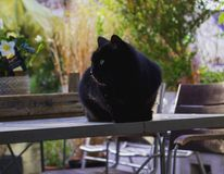 Cat on the table. Blackcat sweet table Royalty Free Stock Photography
