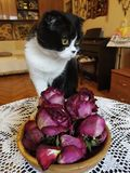 A cat on the table. With roses royalty free stock image